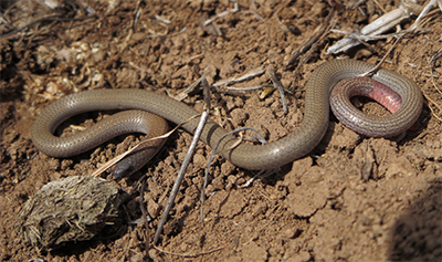 PT worm lizard